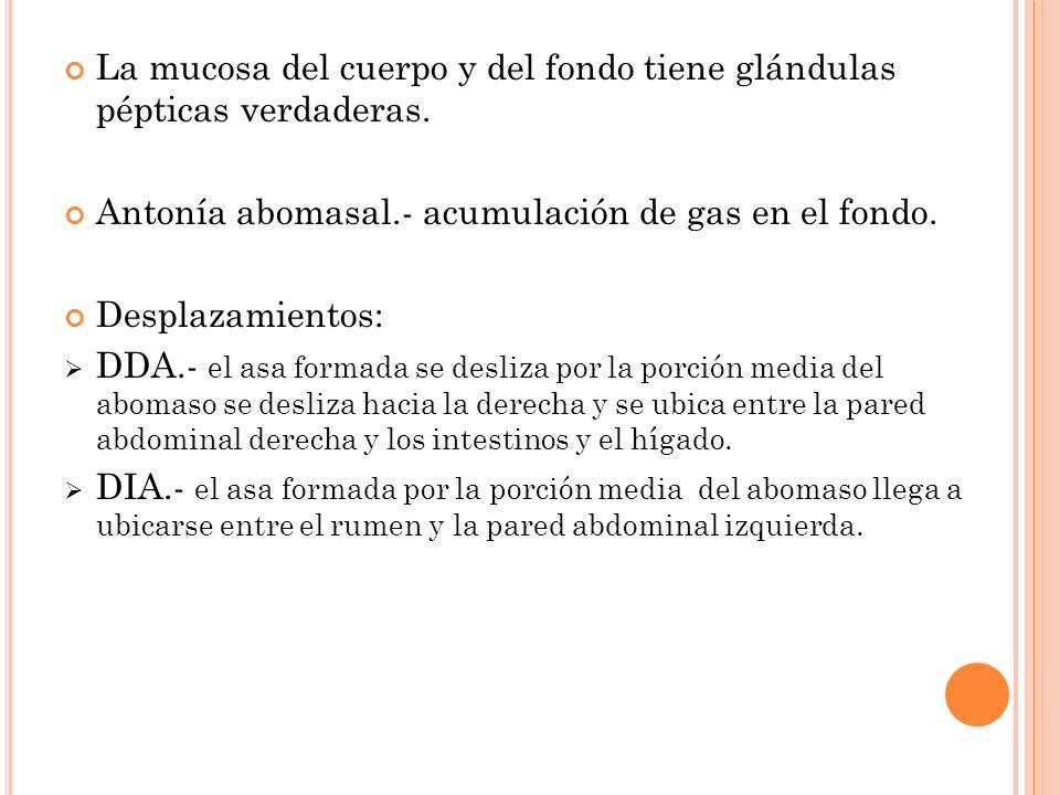 La mucosa del cuerpo y del fondo tiene glándulas pépticas verdaderas. Antonía abomasal.- acumulación de gas en el fondo. Desplazamientos: DDA.- el asa