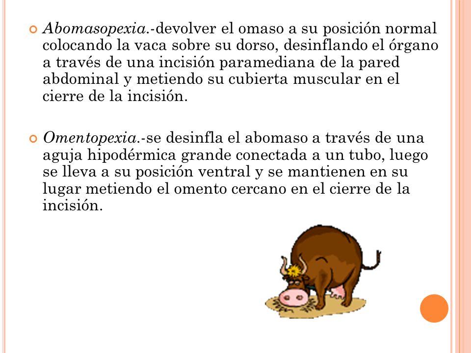 Abomasopexia.-devolver el omaso a su posición normal colocando la vaca sobre su dorso, desinflando el órgano a través de una incisión paramediana de l