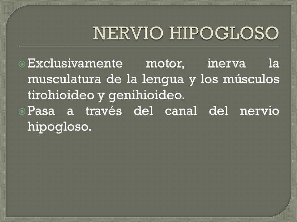 Exclusivamente motor, inerva la musculatura de la lengua y los músculos tirohioideo y genihioideo. Pasa a través del canal del nervio hipogloso.