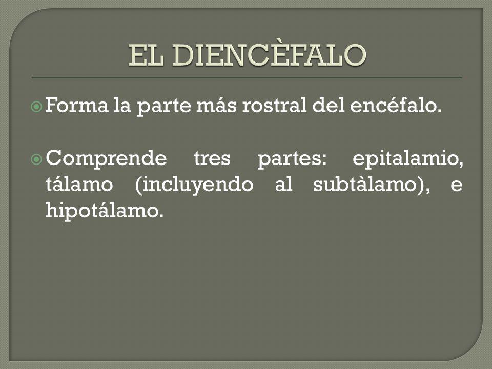 Forma la parte más rostral del encéfalo. Comprende tres partes: epitalamio, tálamo (incluyendo al subtàlamo), e hipotálamo.