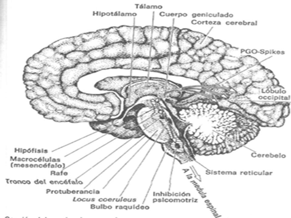 Su extremo rostral presenta un apéndice, el bulbo olfatorio que se aloja en un receso del hueso etmoidal.