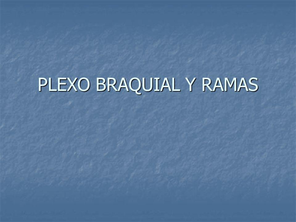 Ramos ventrales lumbares: Ramos ventrales lumbares: Mejor desarrollados.