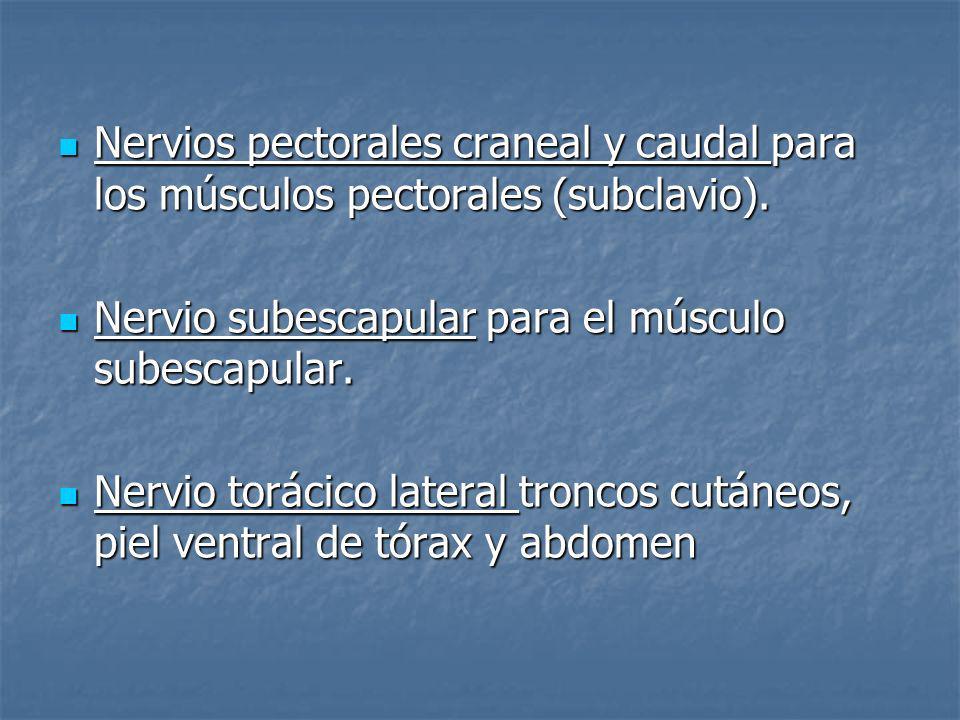 Nervios pectorales craneal y caudal para los músculos pectorales (subclavio). Nervios pectorales craneal y caudal para los músculos pectorales (subcla