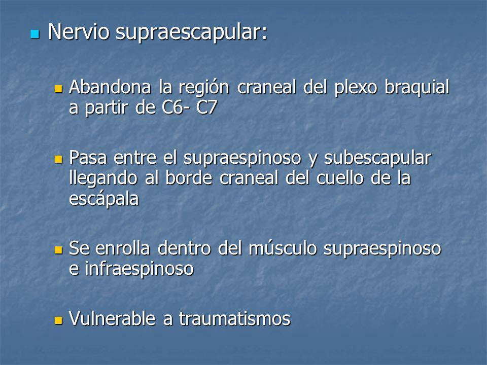 Nervio supraescapular: Nervio supraescapular: Abandona la región craneal del plexo braquial a partir de C6- C7 Abandona la región craneal del plexo br