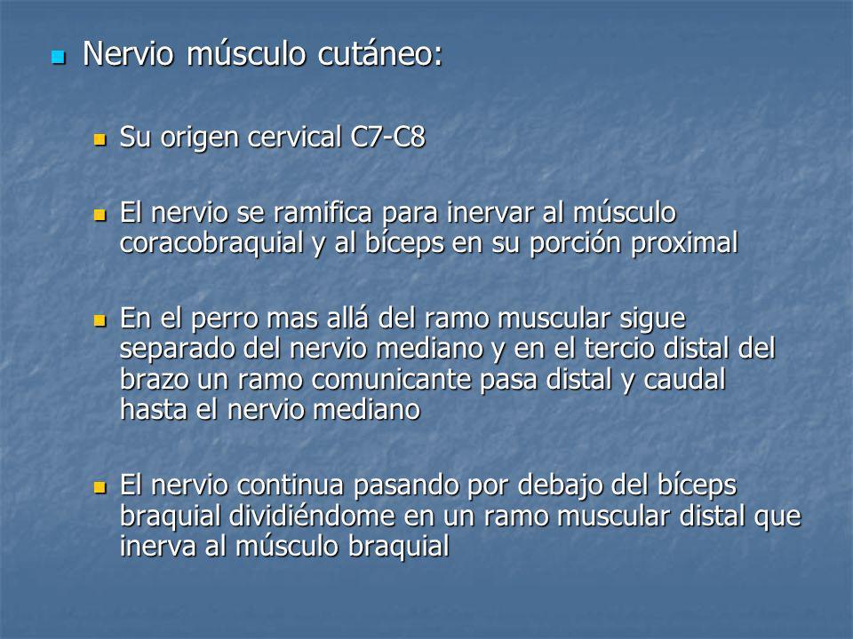 Nervio músculo cutáneo: Nervio músculo cutáneo: Su origen cervical C7-C8 Su origen cervical C7-C8 El nervio se ramifica para inervar al músculo coraco