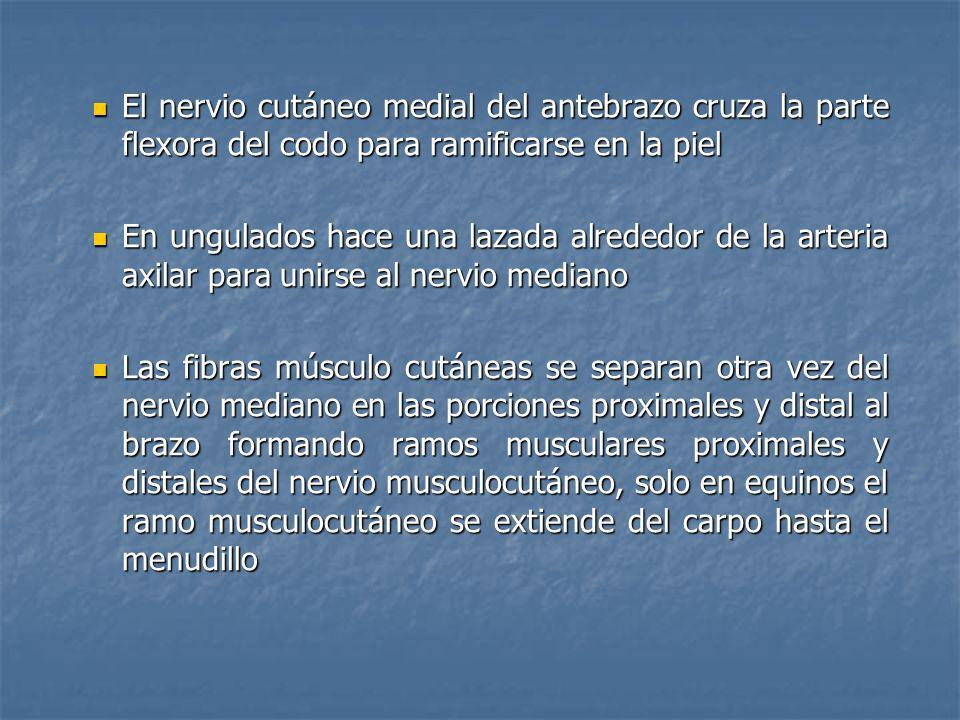 El nervio cutáneo medial del antebrazo cruza la parte flexora del codo para ramificarse en la piel El nervio cutáneo medial del antebrazo cruza la par