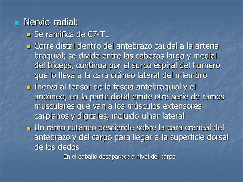 Nervio radial: Nervio radial: Se ramifica de C7-T1 Se ramifica de C7-T1 Corre distal dentro del antebrazo caudal a la arteria braquial; se divide entr