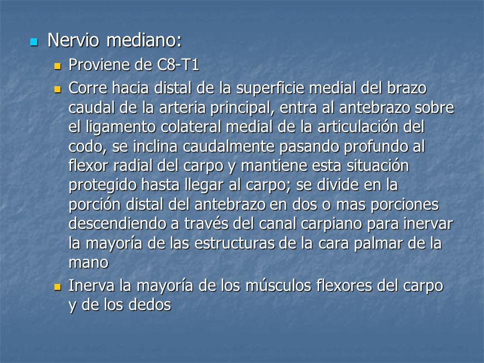 Nervio mediano: Nervio mediano: Proviene de C8-T1 Proviene de C8-T1 Corre hacia distal de la superficie medial del brazo caudal de la arteria principa