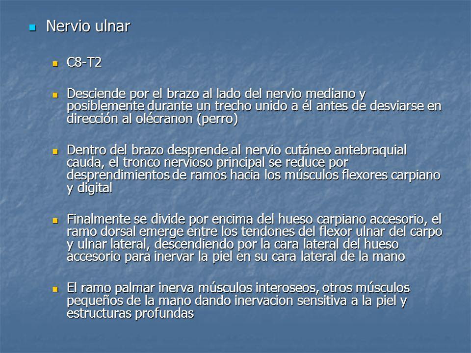 Nervio ulnar Nervio ulnar C8-T2 C8-T2 Desciende por el brazo al lado del nervio mediano y posiblemente durante un trecho unido a él antes de desviarse