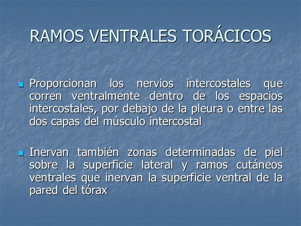 RAMOS VENTRALES TORÁCICOS Proporcionan los nervios intercostales que corren ventralmente dentro de los espacios intercostales, por debajo de la pleura