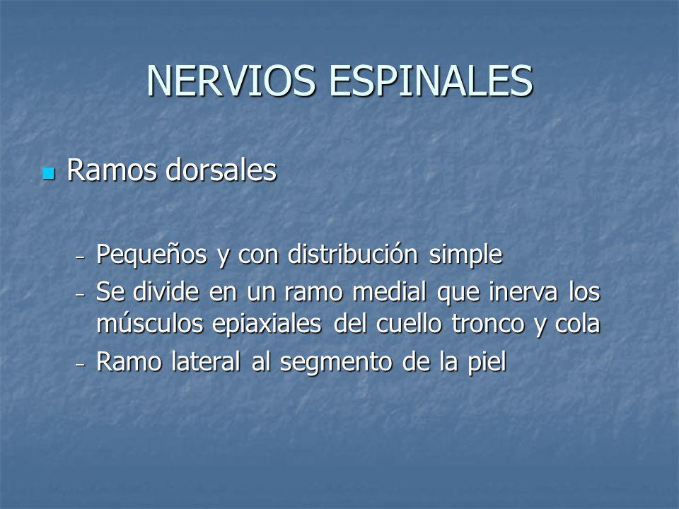 NERVIOS ESPINALES Ramos dorsales Ramos dorsales Pequeños y con distribución simple Pequeños y con distribución simple Se divide en un ramo medial que