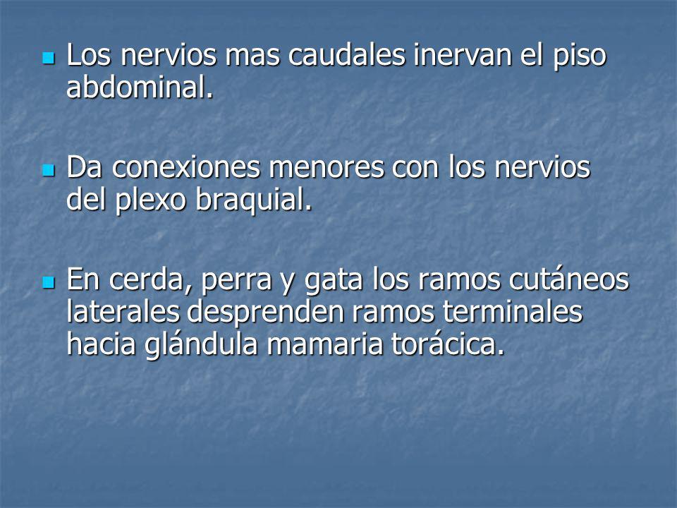 Los nervios mas caudales inervan el piso abdominal. Los nervios mas caudales inervan el piso abdominal. Da conexiones menores con los nervios del plex
