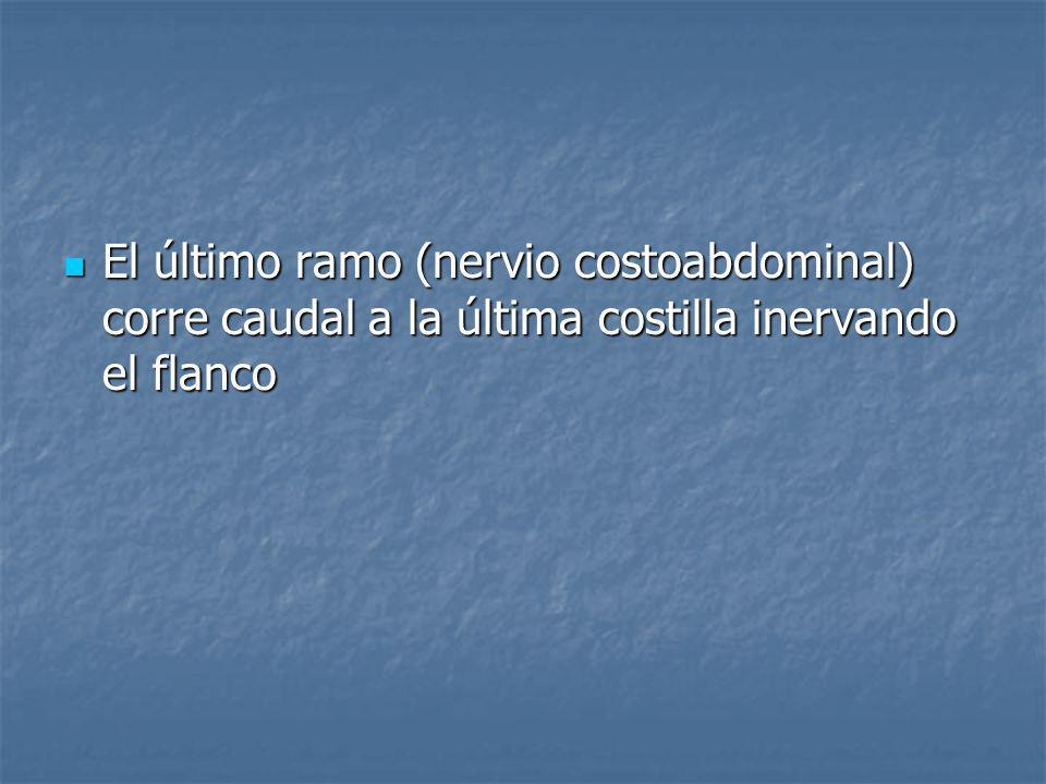 El último ramo (nervio costoabdominal) corre caudal a la última costilla inervando el flanco El último ramo (nervio costoabdominal) corre caudal a la