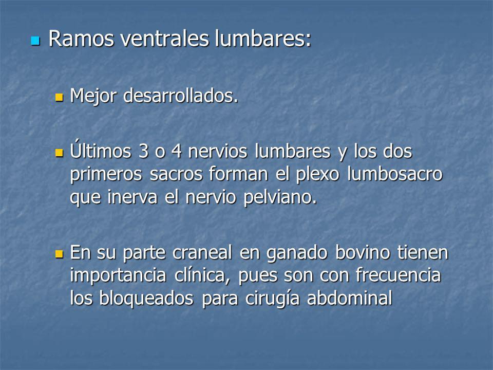 Ramos ventrales lumbares: Ramos ventrales lumbares: Mejor desarrollados. Mejor desarrollados. Últimos 3 o 4 nervios lumbares y los dos primeros sacros