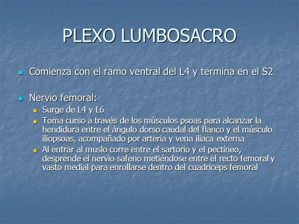 PLEXO LUMBOSACRO Comienza con el ramo ventral del L4 y termina en el S2 Comienza con el ramo ventral del L4 y termina en el S2 Nervio femoral: Nervio