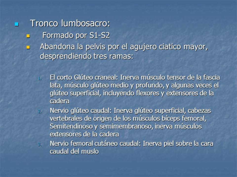 Tronco lumbosacro: Tronco lumbosacro: Formado por S1-S2 Formado por S1-S2 Abandona la pelvis por el agujero ciatico mayor, desprendiendo tres ramas: A