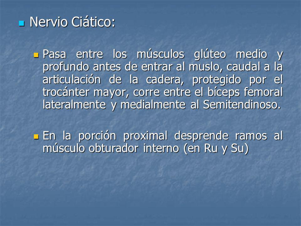 Nervio Ciático: Nervio Ciático: Pasa entre los músculos glúteo medio y profundo antes de entrar al muslo, caudal a la articulación de la cadera, prote