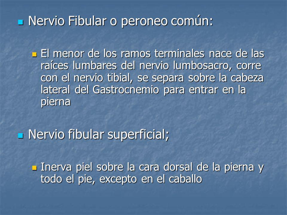 Nervio Fibular o peroneo común: Nervio Fibular o peroneo común: El menor de los ramos terminales nace de las raíces lumbares del nervio lumbosacro, co