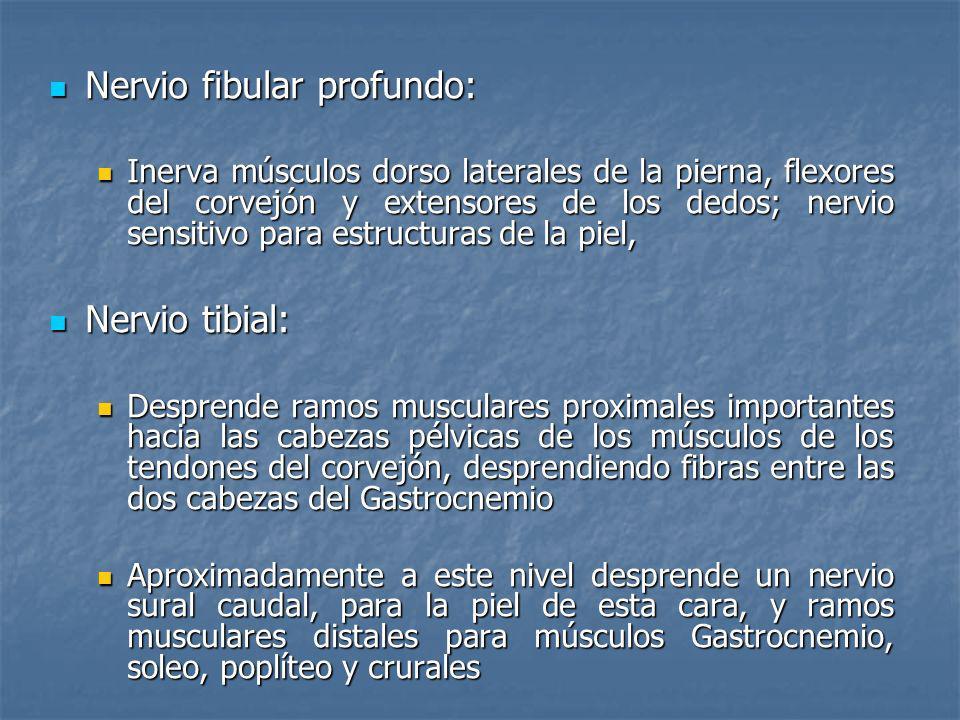 Nervio fibular profundo: Nervio fibular profundo: Inerva músculos dorso laterales de la pierna, flexores del corvejón y extensores de los dedos; nervi