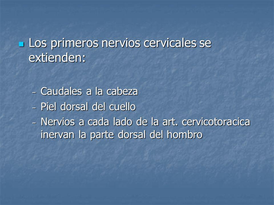 Los primeros nervios cervicales se extienden: Los primeros nervios cervicales se extienden: Caudales a la cabeza Caudales a la cabeza Piel dorsal del