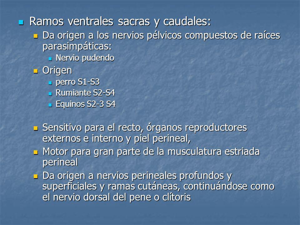 Ramos ventrales sacras y caudales: Ramos ventrales sacras y caudales: Da origen a los nervios pélvicos compuestos de raíces parasimpáticas: Da origen