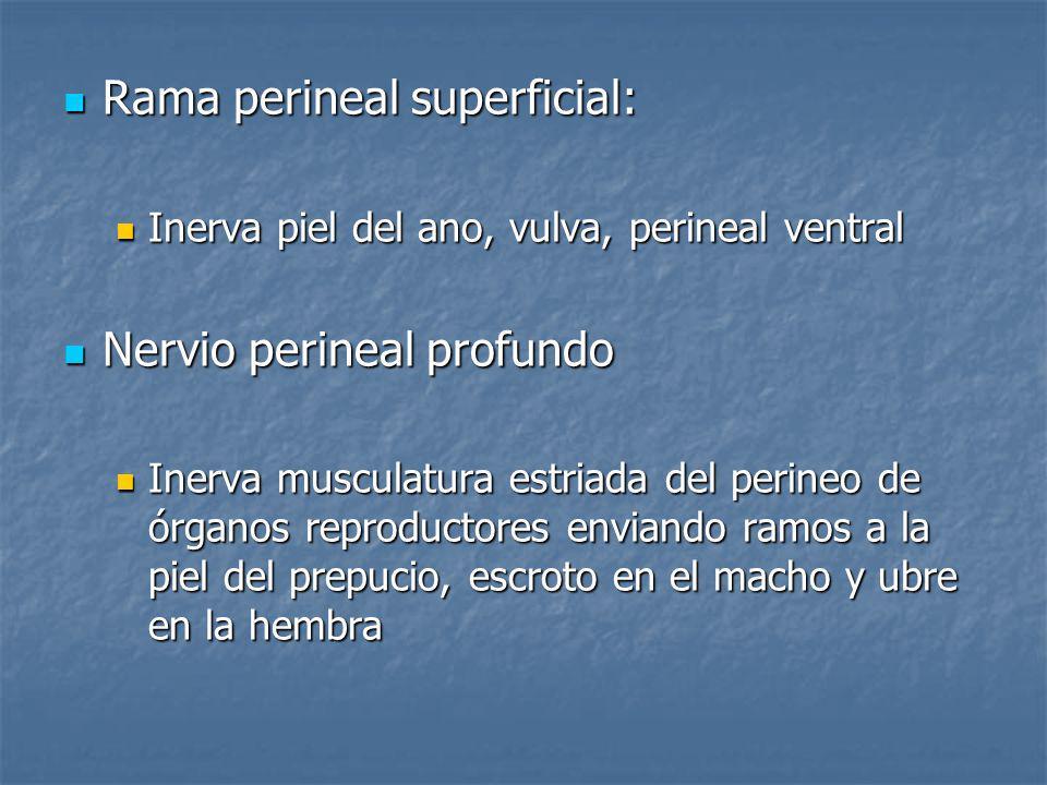 Rama perineal superficial: Rama perineal superficial: Inerva piel del ano, vulva, perineal ventral Inerva piel del ano, vulva, perineal ventral Nervio