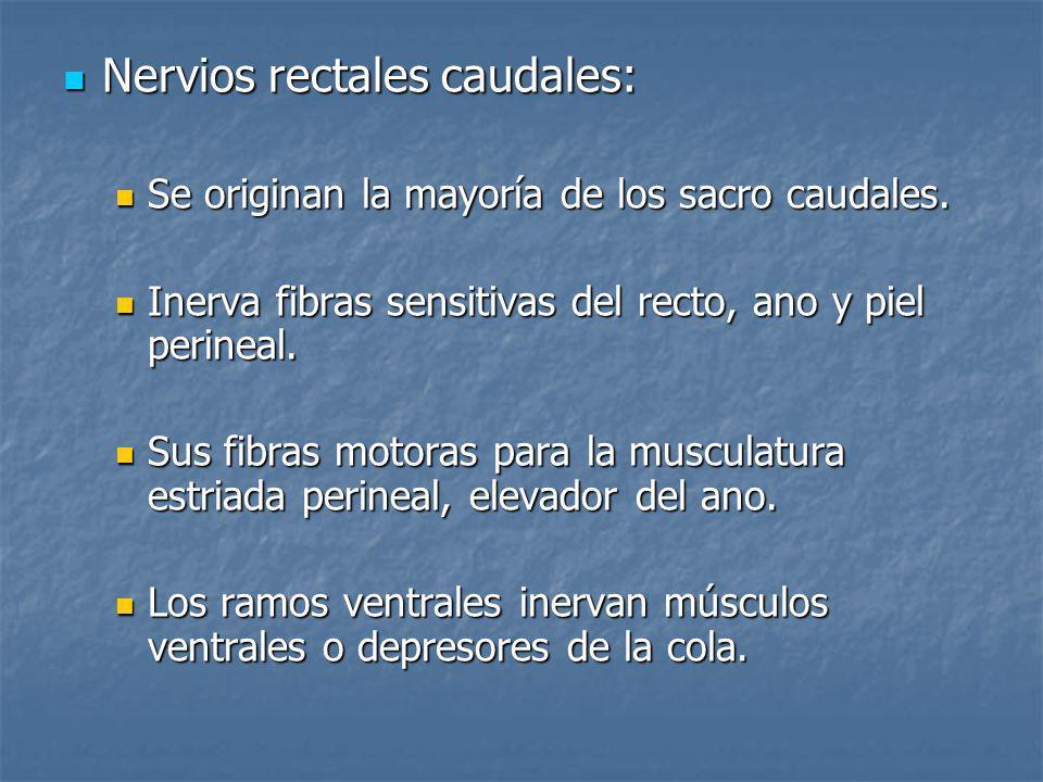 Nervios rectales caudales: Nervios rectales caudales: Se originan la mayoría de los sacro caudales. Se originan la mayoría de los sacro caudales. Iner