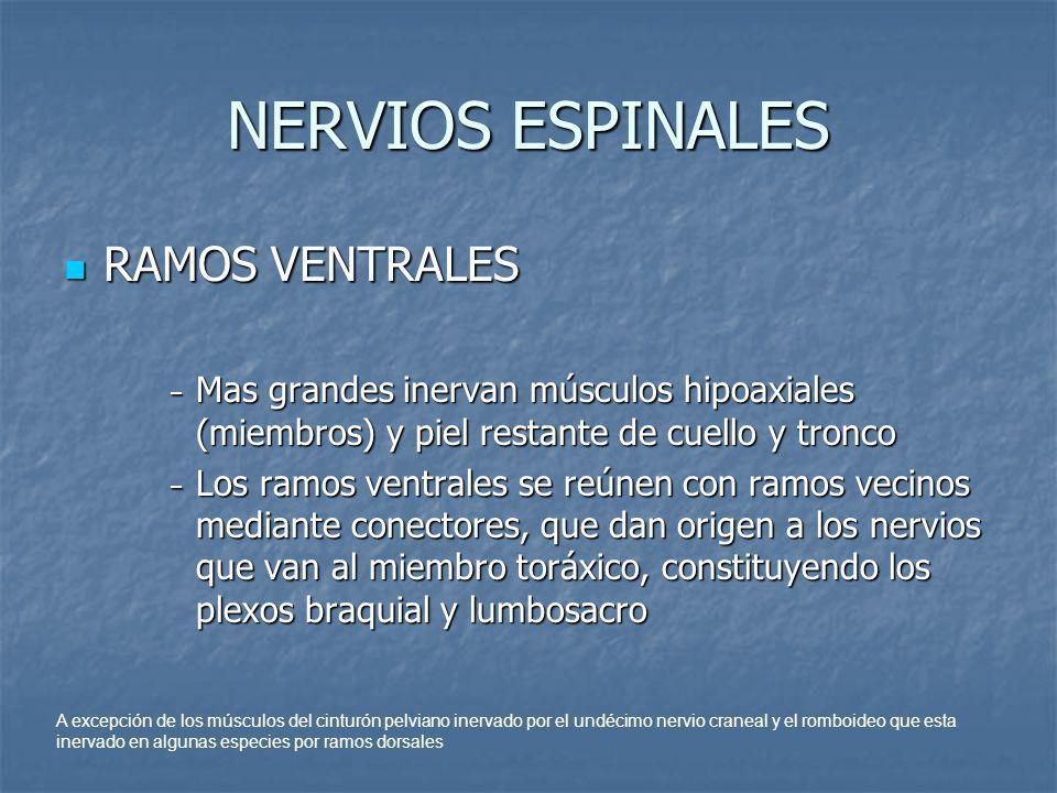 NERVIOS ESPINALES RAMOS VENTRALES CERVICALES RAMOS VENTRALES CERVICALES Primeros ramos se extienden al oído externo masetero y garganta Primeros ramos se extienden al oído externo masetero y garganta Ramos mas caudales forman el nervio frénico y al plexo braquial inervando estructuras locales Ramos mas caudales forman el nervio frénico y al plexo braquial inervando estructuras locales Nervio frénico formado por los nervios cervicales C5, C6, C7 Nervio frénico formado por los nervios cervicales C5, C6, C7