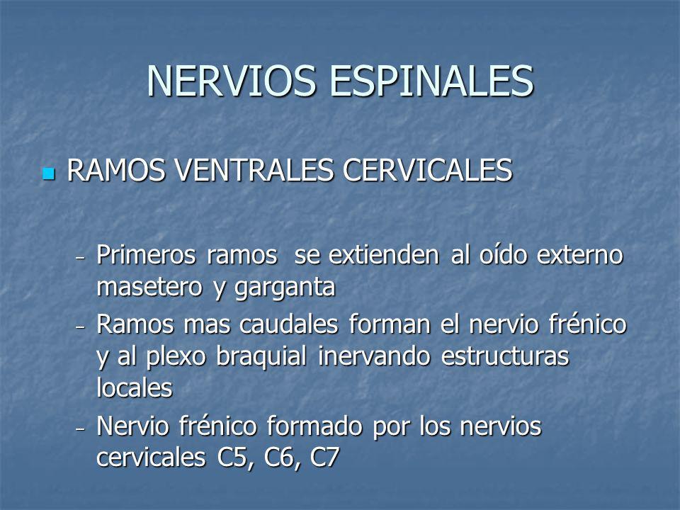 NERVIOS ESPINALES RAMOS VENTRALES CERVICALES RAMOS VENTRALES CERVICALES Primeros ramos se extienden al oído externo masetero y garganta Primeros ramos