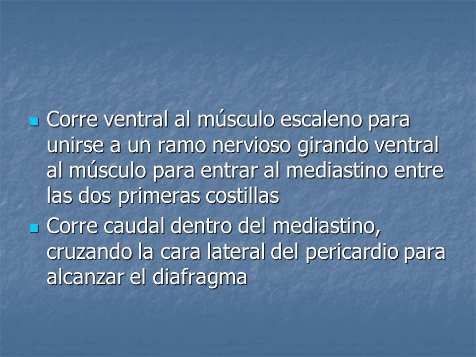 Nervio frénico del diafragma es motor Nervio frénico del diafragma es motor Parte sensitiva se ramifica en nervios intercostales Parte sensitiva se ramifica en nervios intercostales
