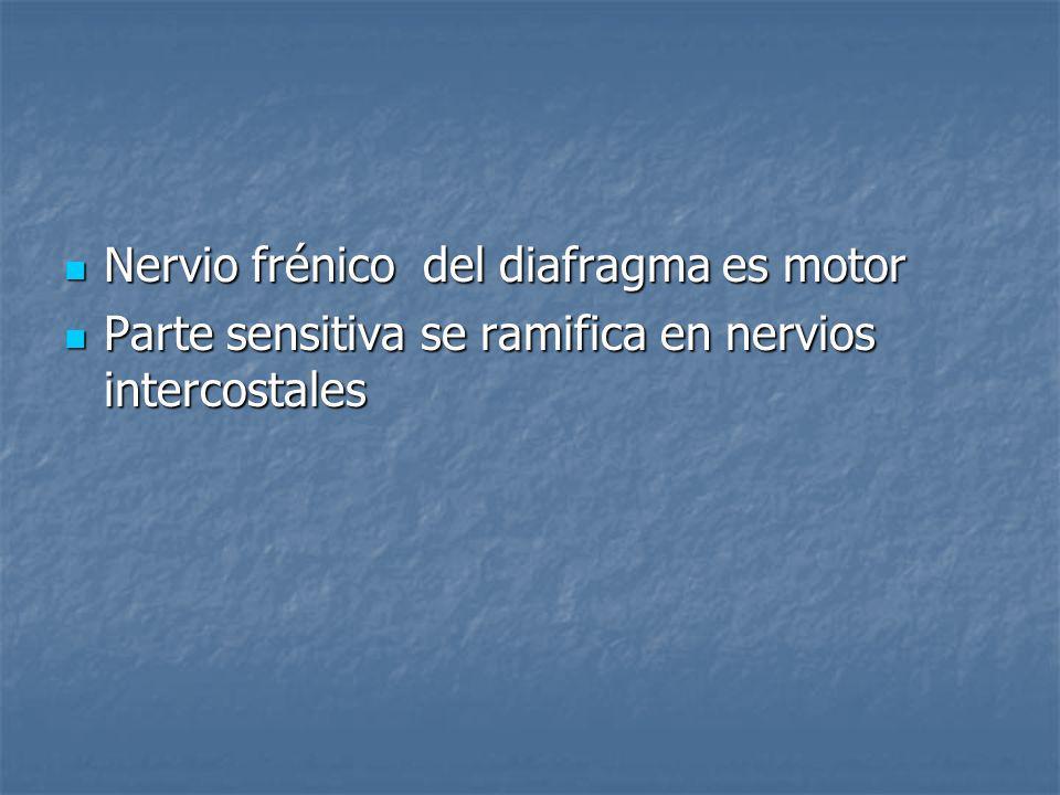 Nervio frénico del diafragma es motor Nervio frénico del diafragma es motor Parte sensitiva se ramifica en nervios intercostales Parte sensitiva se ra