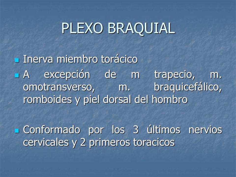 PLEXO BRAQUIAL Inerva miembro torácico Inerva miembro torácico A excepción de m trapecio, m. omotransverso, m. braquicefálico, romboides y piel dorsal