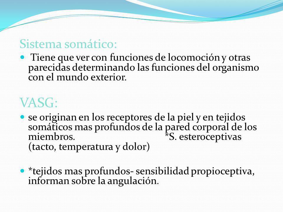 Sistema somático: Tiene que ver con funciones de locomoción y otras parecidas determinando las funciones del organismo con el mundo exterior. VASG: se