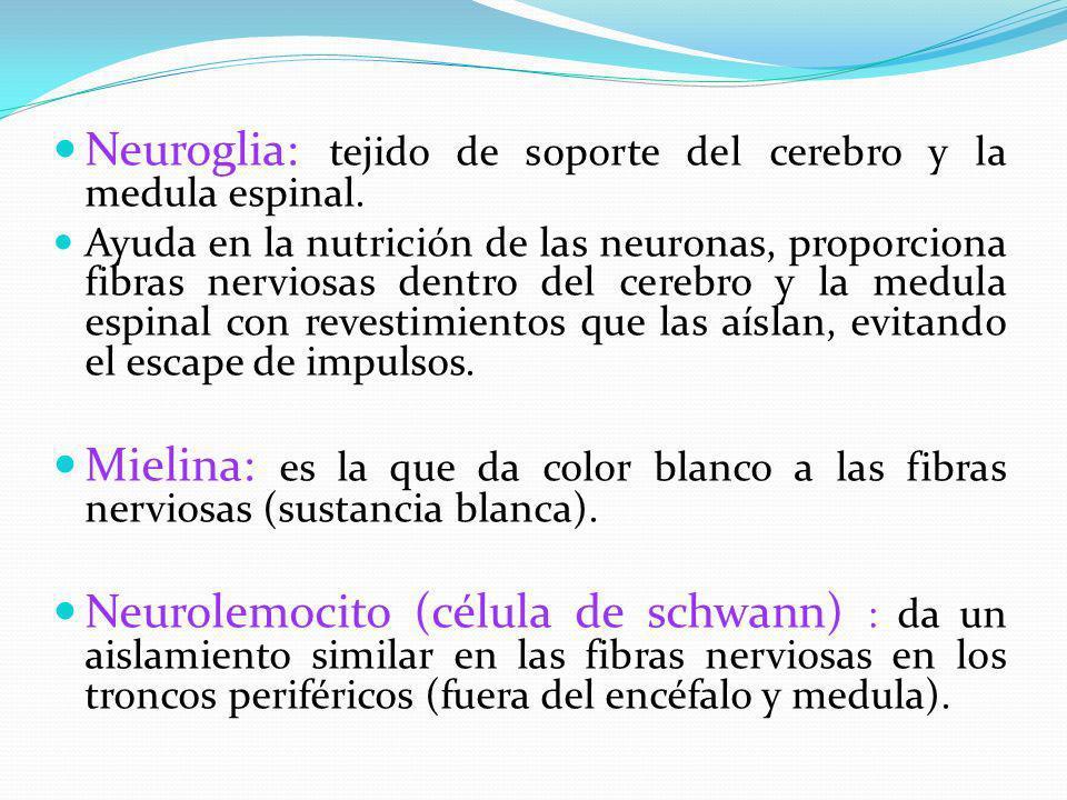 Neuroglia: tejido de soporte del cerebro y la medula espinal. Ayuda en la nutrición de las neuronas, proporciona fibras nerviosas dentro del cerebro y