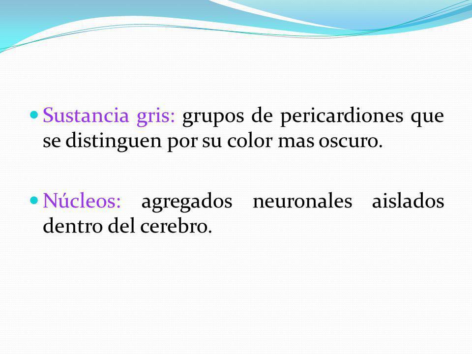 Sustancia gris: grupos de pericardiones que se distinguen por su color mas oscuro. Núcleos: agregados neuronales aislados dentro del cerebro.