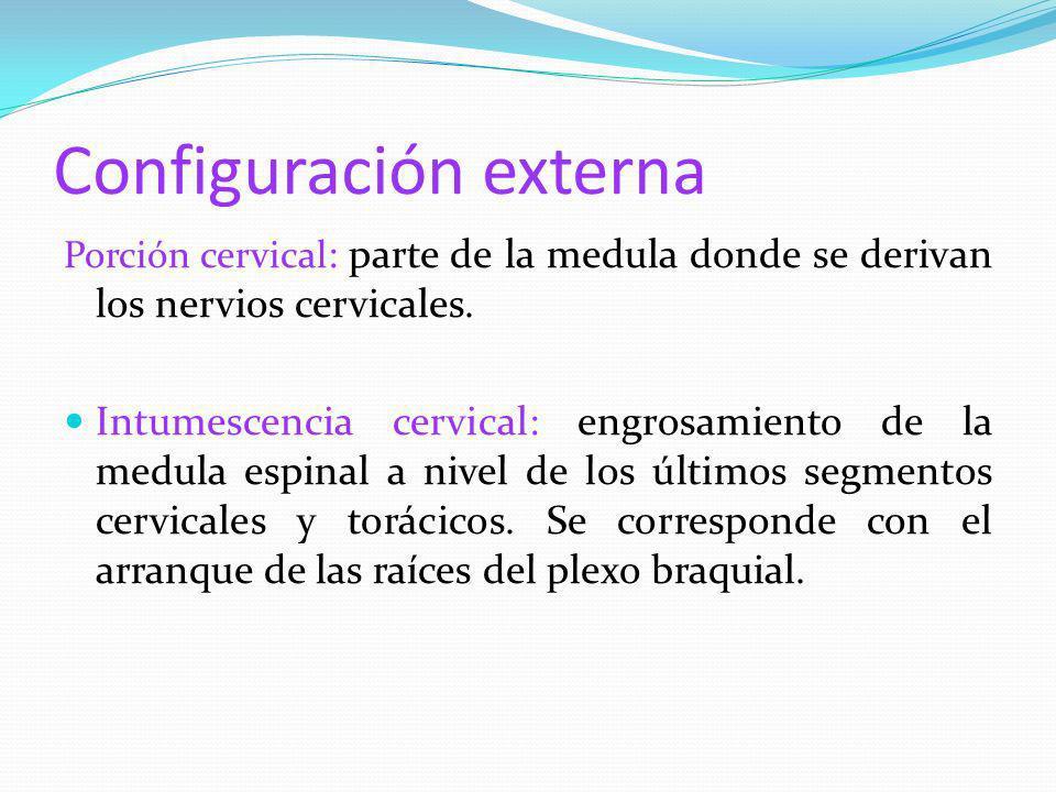 Configuración externa Porción cervical : parte de la medula donde se derivan los nervios cervicales. Intumescencia cervical: engrosamiento de la medul