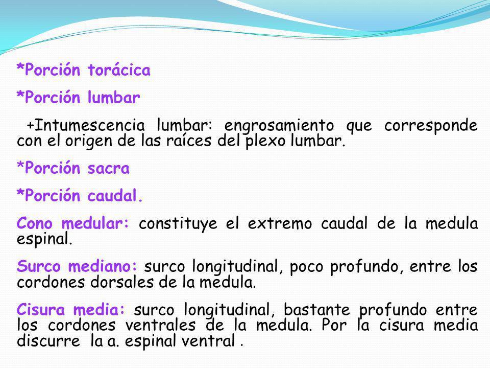 *Porción torácica *Porción lumbar +Intumescencia lumbar: engrosamiento que corresponde con el origen de las raíces del plexo lumbar. *Porción sacra *P