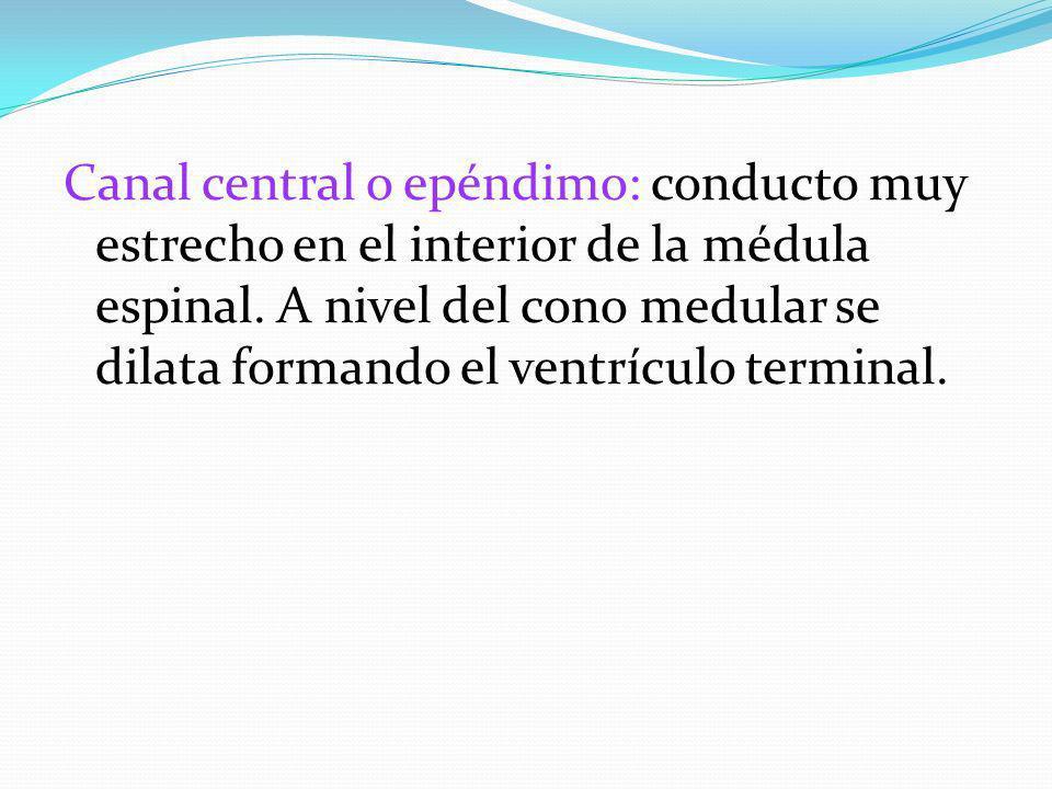 Canal central o epéndimo: conducto muy estrecho en el interior de la médula espinal. A nivel del cono medular se dilata formando el ventrículo termina