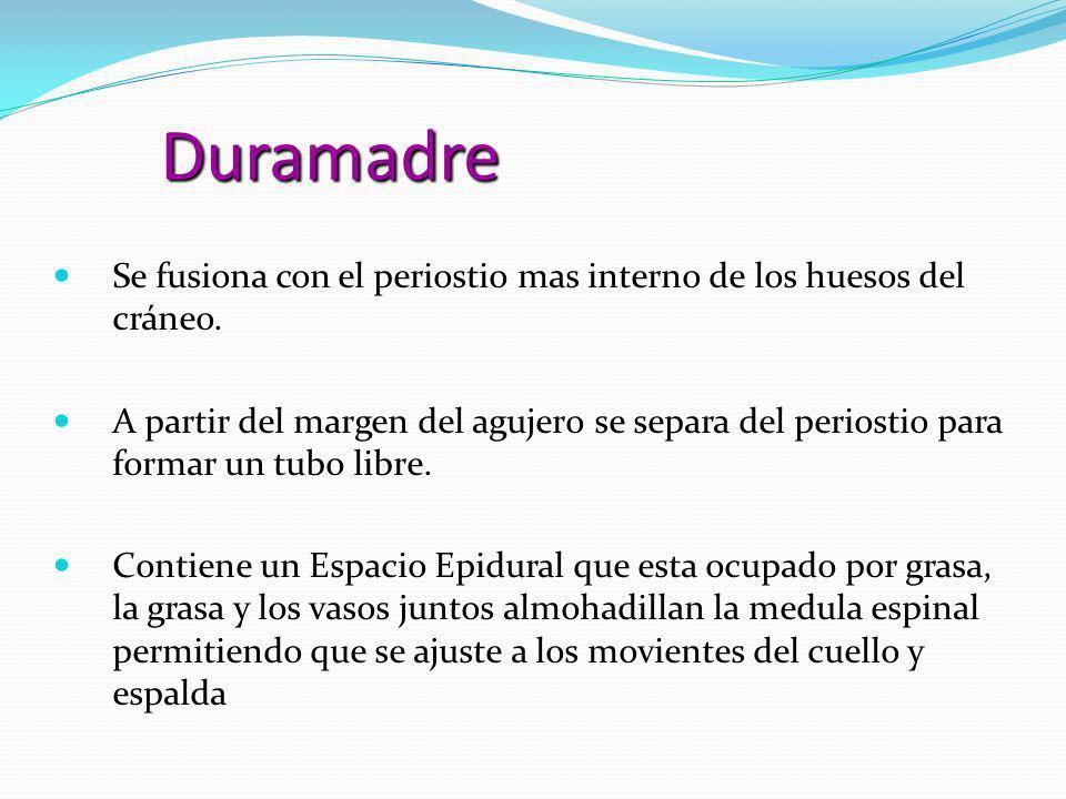 Duramadre Se fusiona con el periostio mas interno de los huesos del cráneo. Se fusiona con el periostio mas interno de los huesos del cráneo. A partir