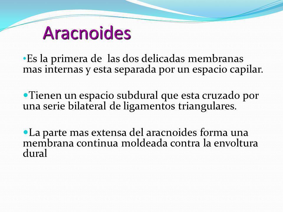 Aracnoides Es la primera de las dos delicadas membranas mas internas y esta separada por un espacio capilar. Es la primera de las dos delicadas membra