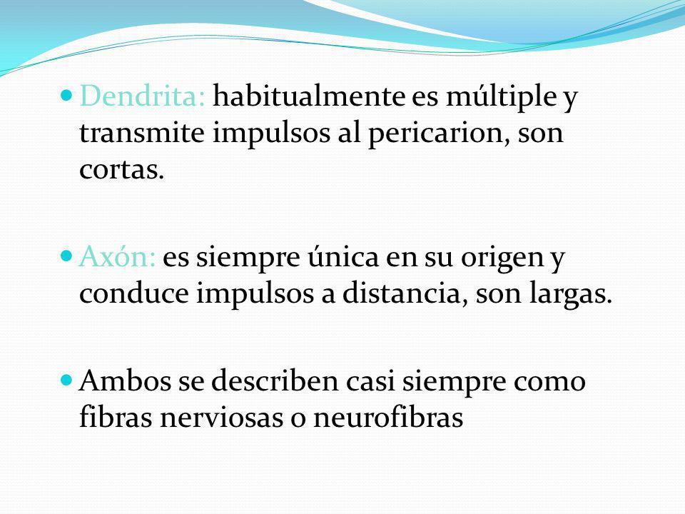 Dendrita: habitualmente es múltiple y transmite impulsos al pericarion, son cortas. Axón: es siempre única en su origen y conduce impulsos a distancia