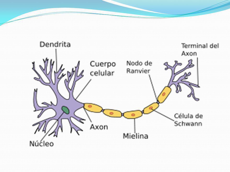 Clasificación morfológica de las neuronas: Multipolares- son las que mas abundan, poseen un numero muy grande, se unen al pericarion en puntos diseminados.