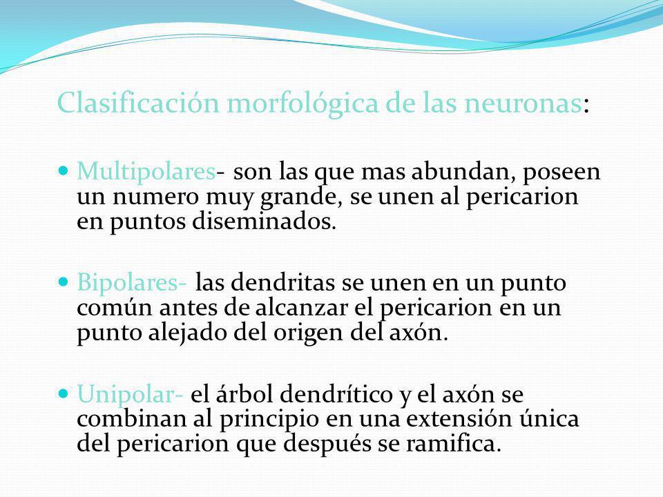 Clasificación morfológica de las neuronas: Multipolares- son las que mas abundan, poseen un numero muy grande, se unen al pericarion en puntos disemin
