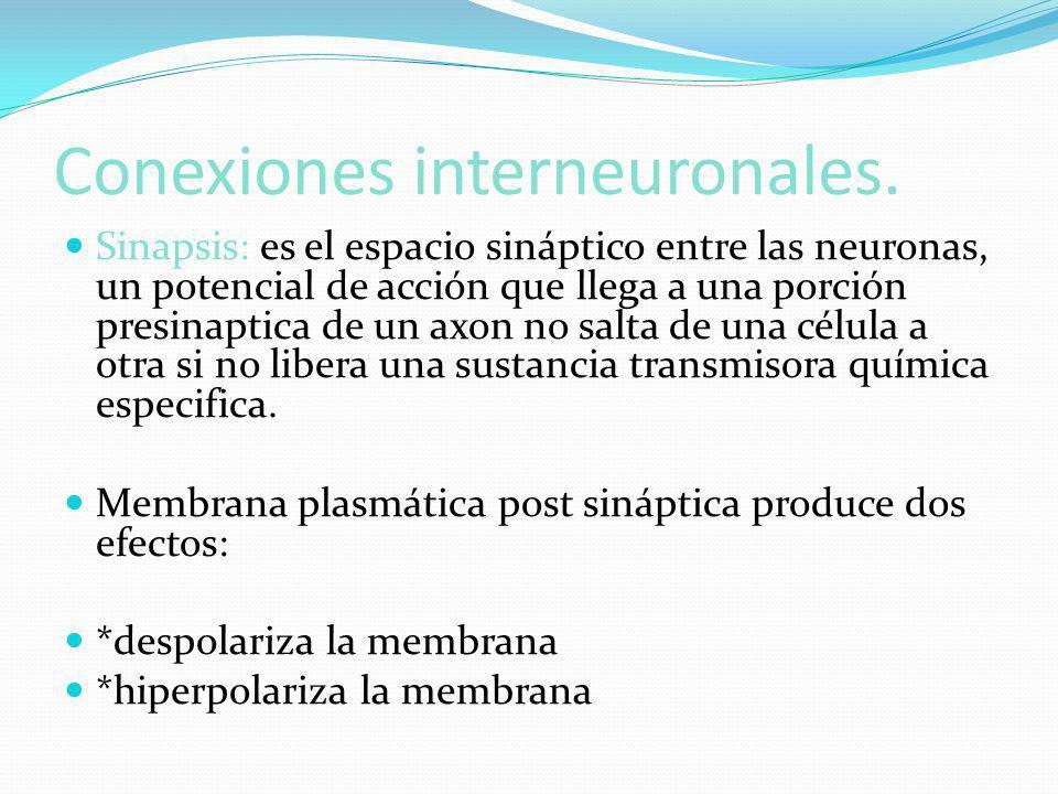 Conexiones interneuronales. Sinapsis: es el espacio sináptico entre las neuronas, un potencial de acción que llega a una porción presinaptica de un ax