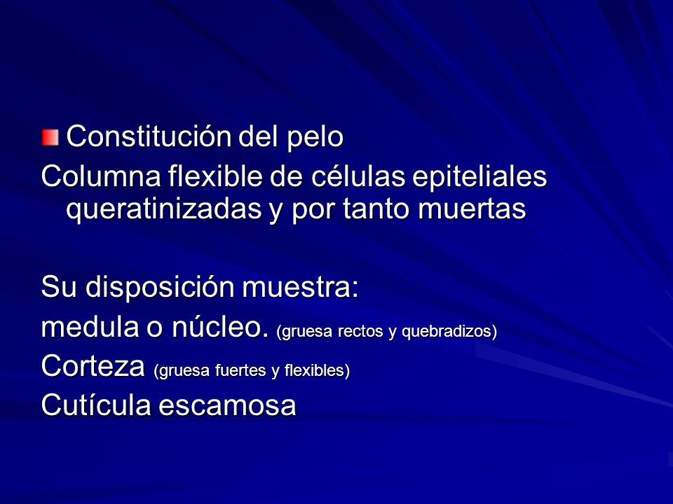 Constitución del pelo Columna flexible de células epiteliales queratinizadas y por tanto muertas Su disposición muestra: medula o núcleo. (gruesa rect