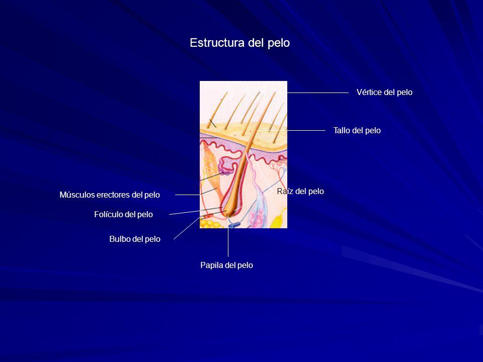 Folículo del pelo Bulbo del pelo Papila del pelo Tallo del pelo Raíz del pelo Vértice del pelo Músculos erectores del pelo Estructura del pelo
