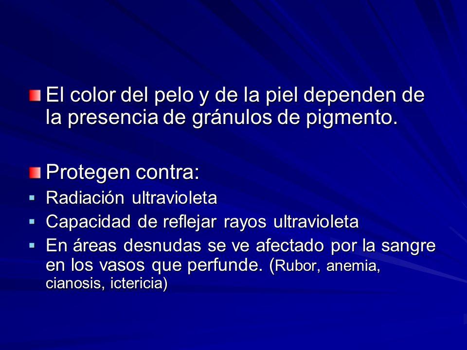 El color del pelo y de la piel dependen de la presencia de gránulos de pigmento. Protegen contra: Radiación ultravioleta Radiación ultravioleta Capaci