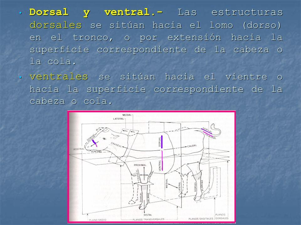 Dorsal y ventral.- Las estructuras dorsales se sitúan hacia el lomo (dorso) en el tronco, o por extensión hacia la superficie correspondiente de la ca