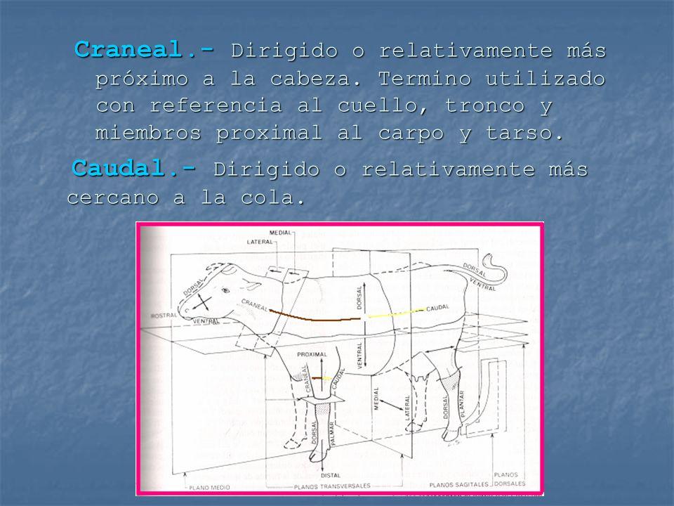 Craneal.- Dirigido o relativamente más próximo a la cabeza. Termino utilizado con referencia al cuello, tronco y miembros proximal al carpo y tarso. C
