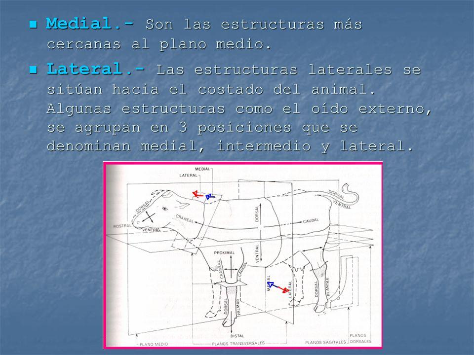 Medial.- Son las estructuras más cercanas al plano medio. Medial.- Son las estructuras más cercanas al plano medio. Lateral.- Las estructuras laterale